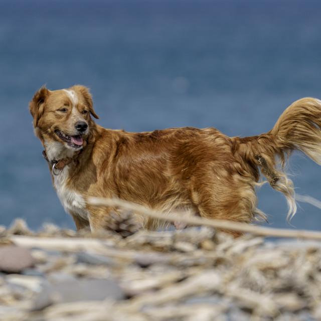 """Dog on a pebble beach"" stock image"