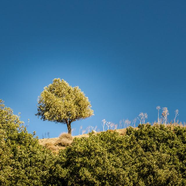 """One olive tree"" stock image"