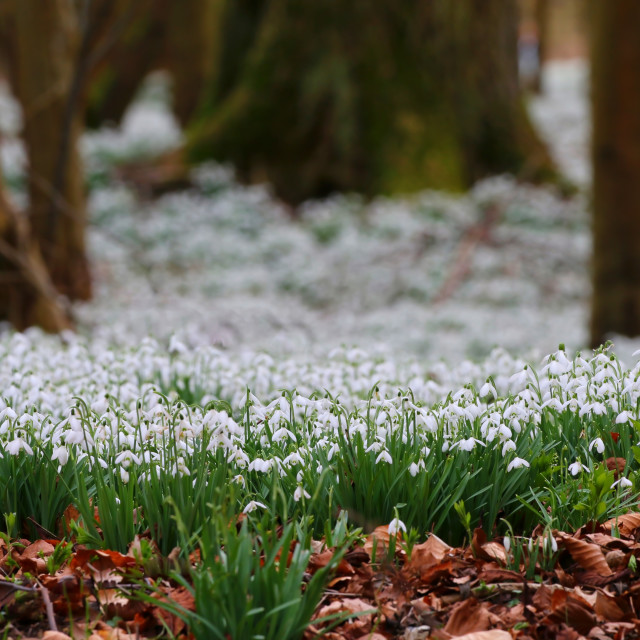 """Spring Snowdrops"" stock image"