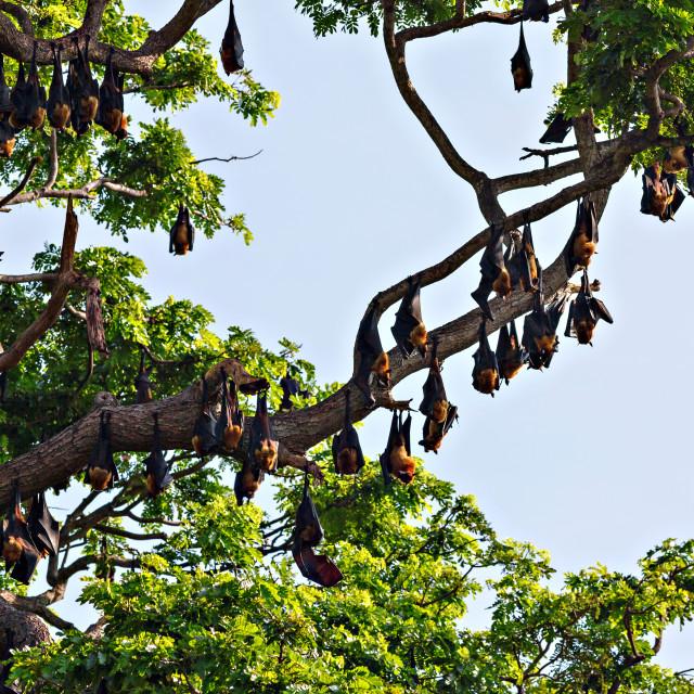 """Tree full of bats - Indian flying fox"" stock image"