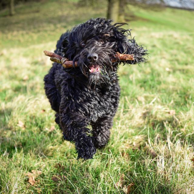 """Cockapoo Dog with stick"" stock image"