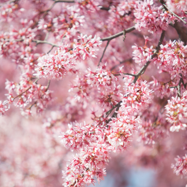 """Blooming branches of Kwanzan Cherry tree"" stock image"