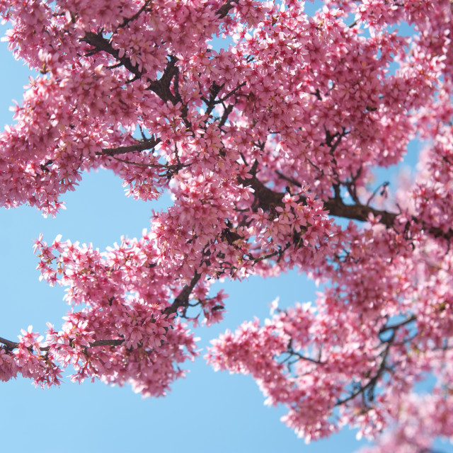 """Kwanzan Cherry tree bloom against blue sky"" stock image"