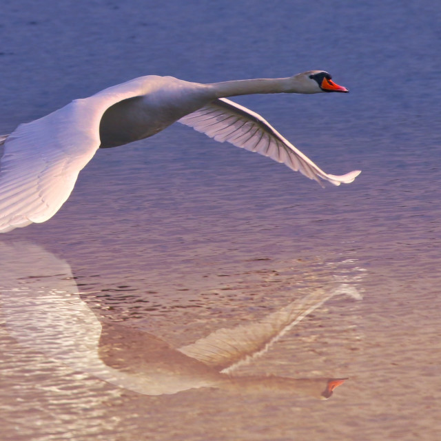 """""""Swan flypast on a lake"""" stock image"""