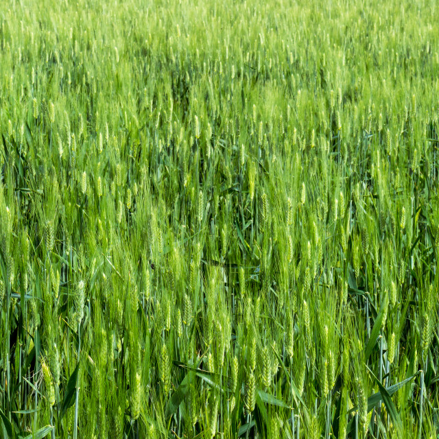 """""""the wheat field"""" stock image"""