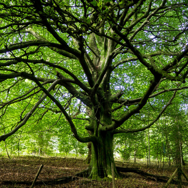 """Sycamore tree"" stock image"