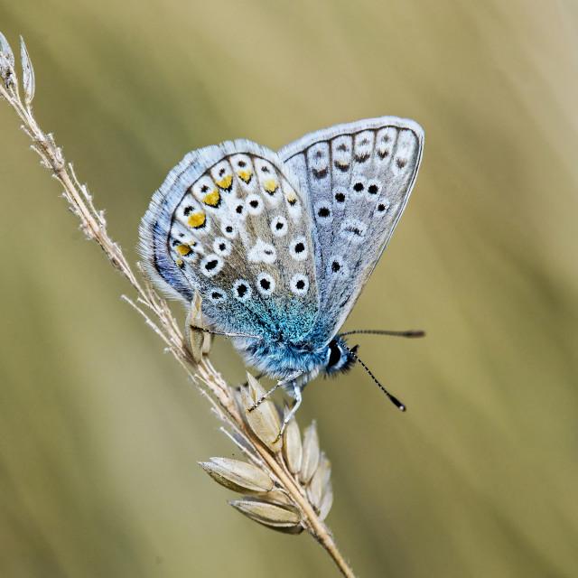 """Common Blue (Polyommatus icarus) (III)"" stock image"