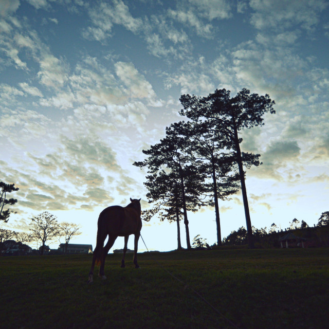 """""""Horse and tree - early morning in Dalat"""" stock image"""