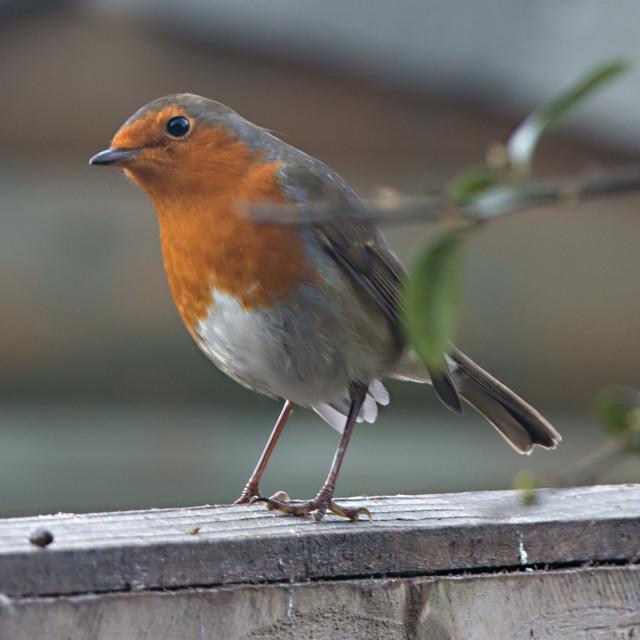 """Cheeky Robin"" stock image"