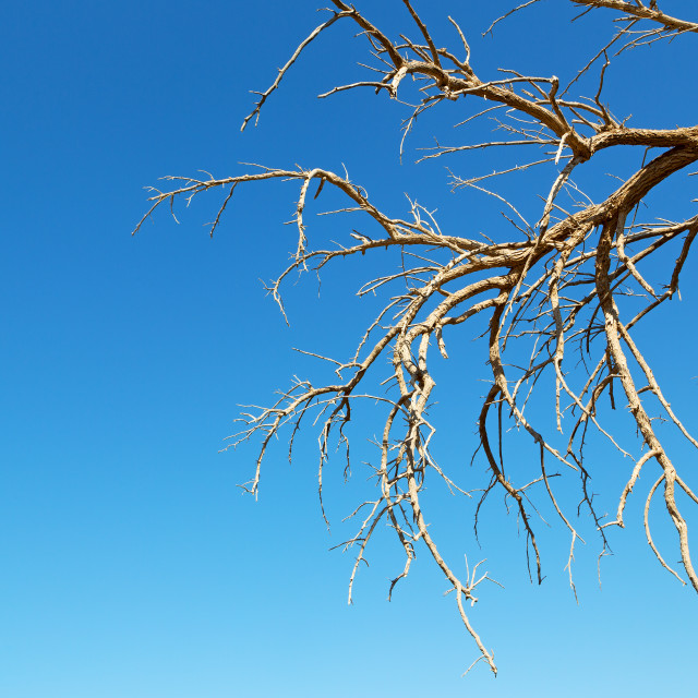 """in oman old dead tree"" stock image"