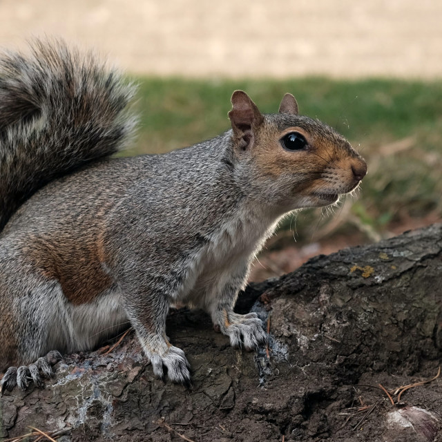 """A Grey Squirrel"" stock image"