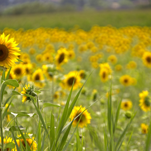 """Tuscany sunflowers"" stock image"