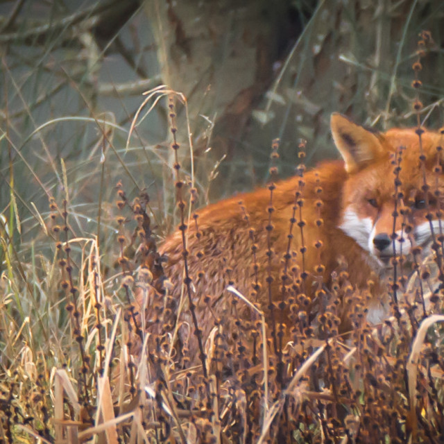 """""""A Cunning Old Fox."""" stock image"""