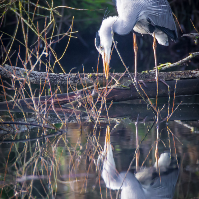 """""""A heron and reflection."""" stock image"""