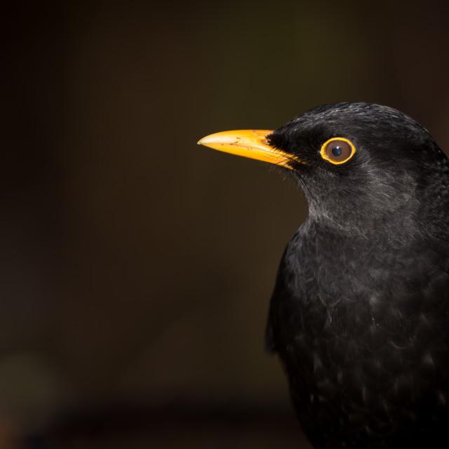 """Blackbird."" stock image"