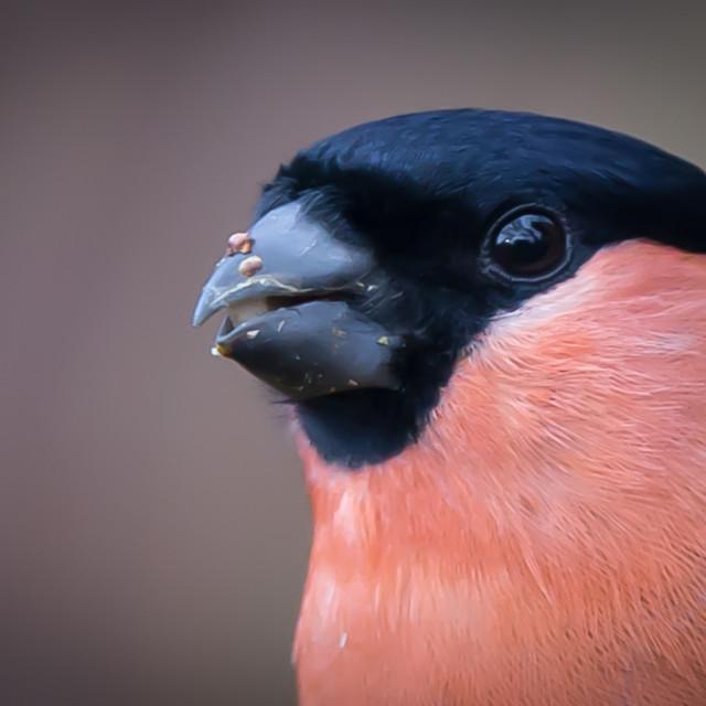 """Male Bullfinch."" stock image"