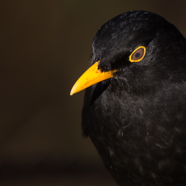 """Blackbird,"" stock image"