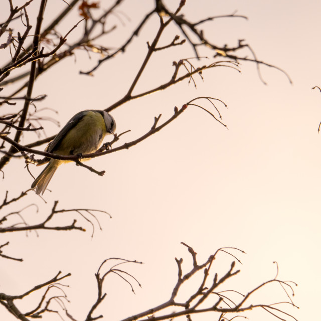 """Blue tit in tree"" stock image"