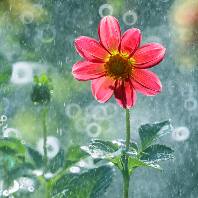 """Dalia is a beautiful and colorful flower"" stock image"