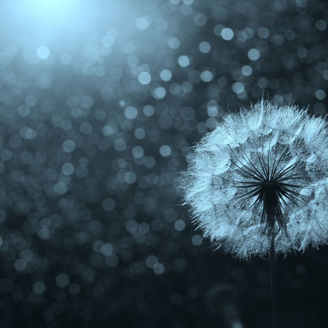 """Dandelion likes wind"" stock image"
