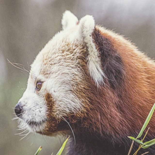"""Red Panda."" stock image"