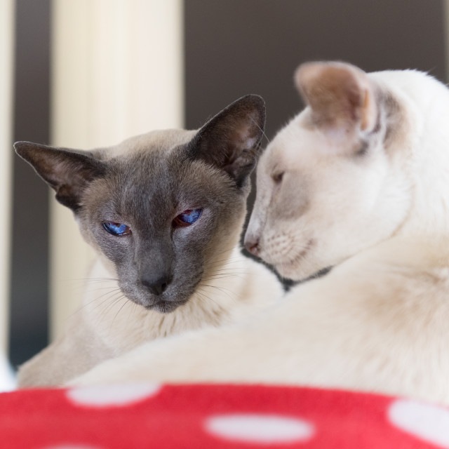 """""""Blue and Lilac point siamese cats"""" stock image"""