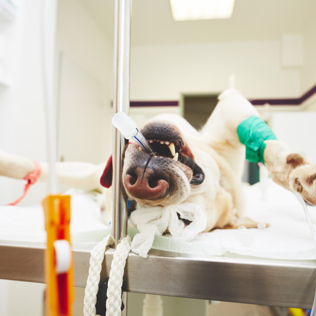 """""""Sick dog in the veterinary clinic"""" stock image"""