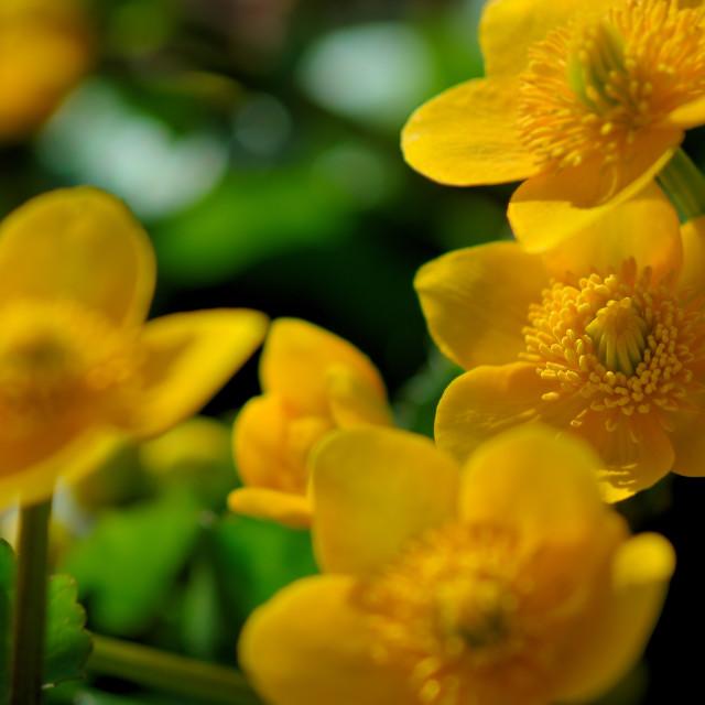 """Marsh Marigold"" stock image"
