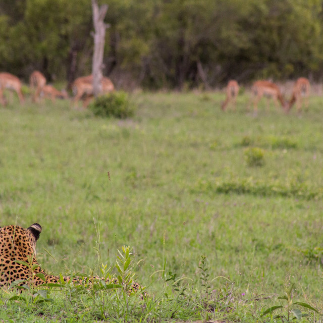 """""""Leopard watching his food"""" stock image"""