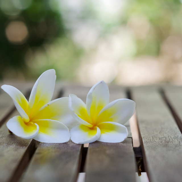 """Couple of blooming plumeria flowers on wooden table"" stock image"