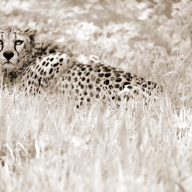 """Cheetah"" stock image"