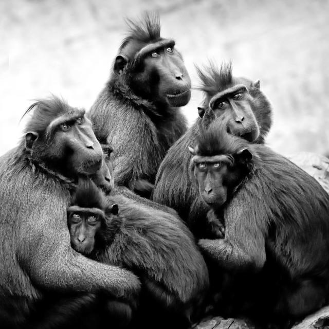 """Baboons"" stock image"
