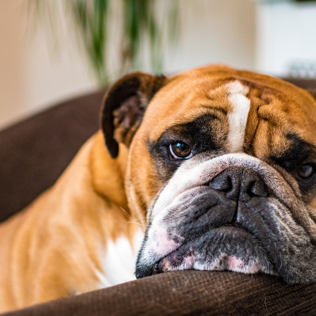 """Bored Bulldog"" stock image"