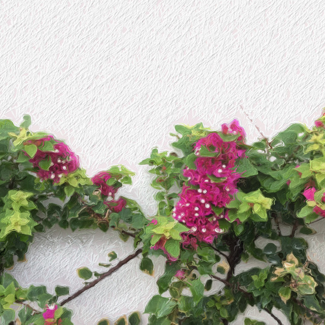 """Pink Bougainvillea"" stock image"