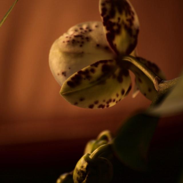 """""""η ορχιδέα, l'orchidea, the orchid"""" stock image"""