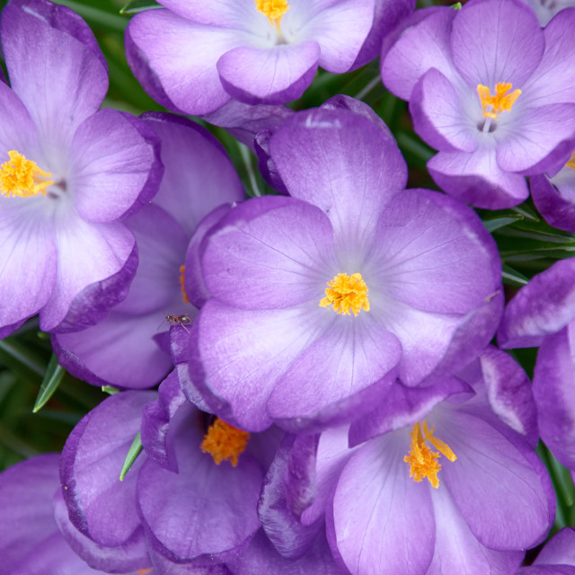 """blooming crocuses"" stock image"