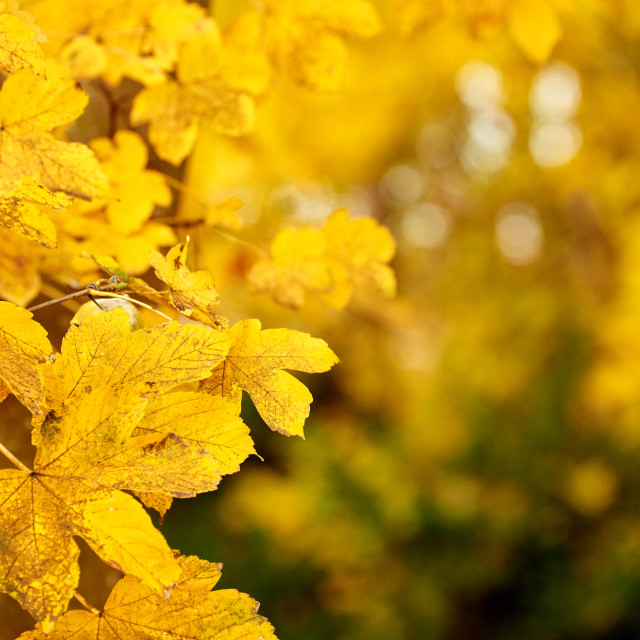 """""""golden maple leaves in autumn"""" stock image"""