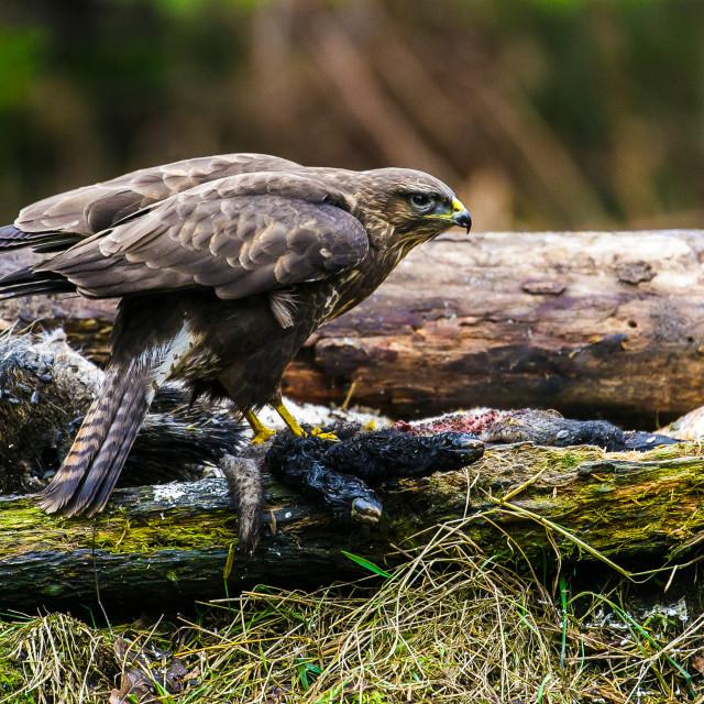 """Common buzzard (Buteo buteo) in a Forest"" stock image"