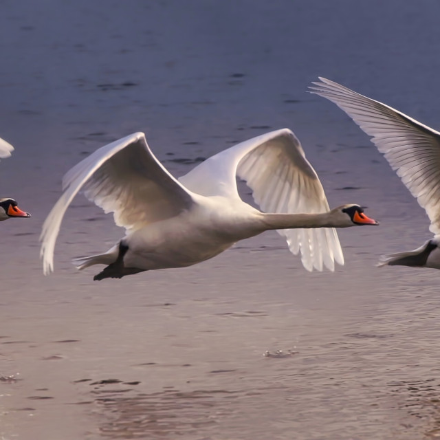 """""""Amazing Swan takeoff sequence"""" stock image"""