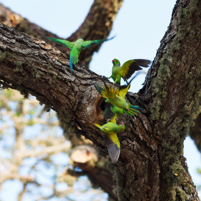 """Parrots fighting over nest on the tree, Sri Lanka"" stock image"