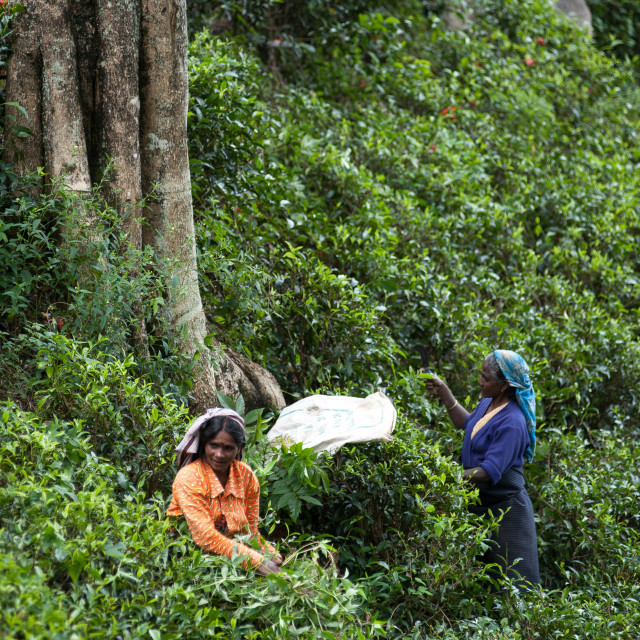 """Tea pickers, Sri Lanka"" stock image"