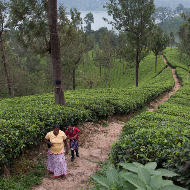 """Tea plantation, Sri Lanka"" stock image"
