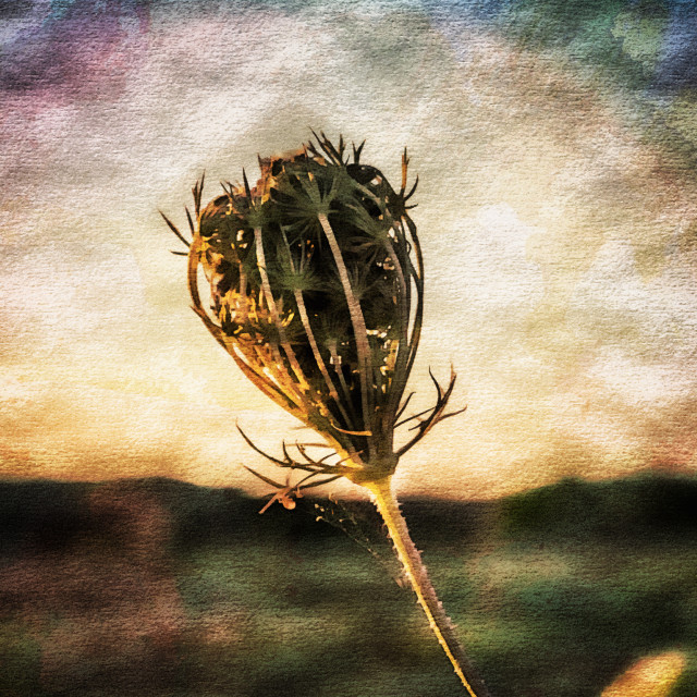 """Cow Parsley Seedhead."" stock image"
