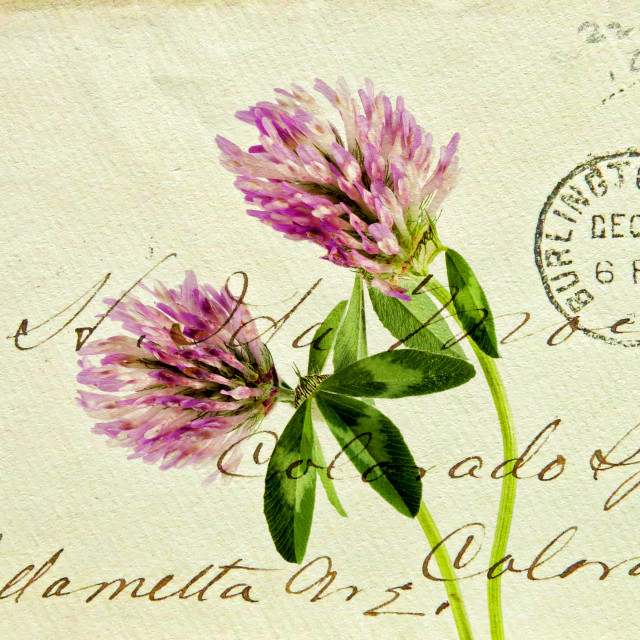 """Two Clover Flowers with Postcard Overlay."" stock image"