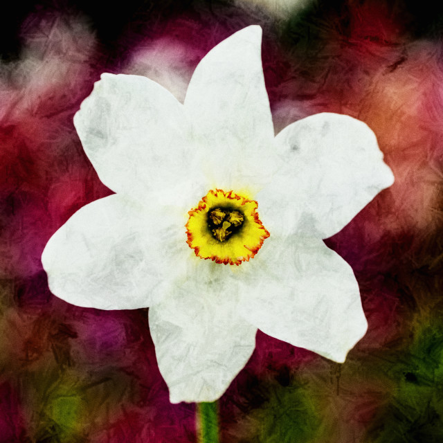 """Textured Daffodil."" stock image"