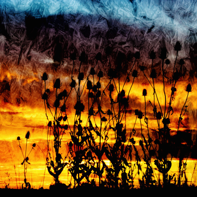 """Teasel Silhouette at Sunset."" stock image"