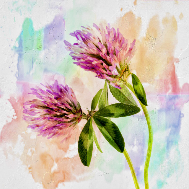 """Two Clover Flowers with Pastel Shades."" stock image"