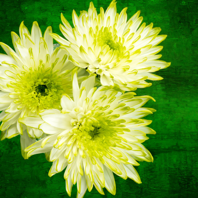 """Yellow Chrysanthemums on a green background."" stock image"
