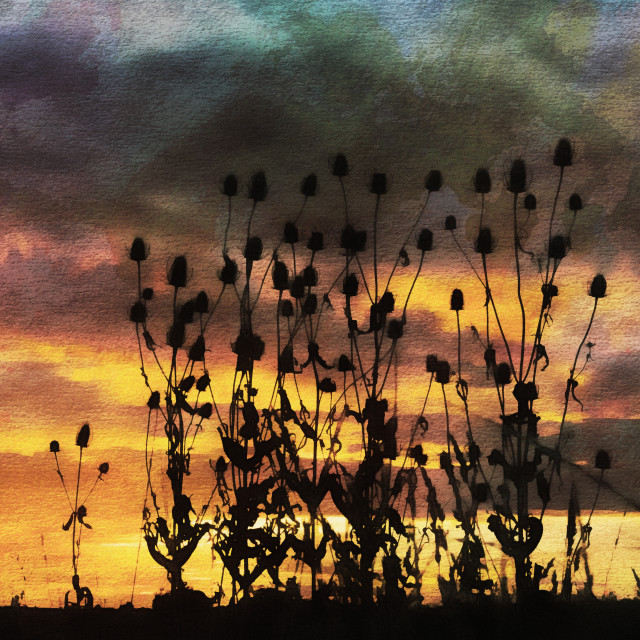 """Teasels in Silhouette."" stock image"