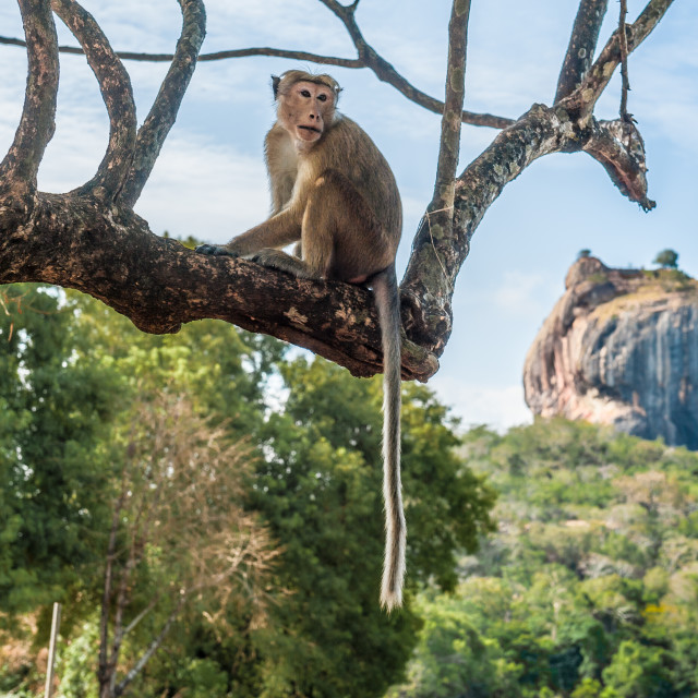 """Sigiriya Rock with monkey in foreground"" stock image"